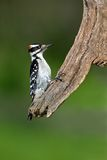 Hairy Woodpecker (Picoides villosus) Royalty Free Stock Photos