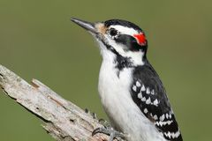 Hairy Woodpecker (Picoides villosus). On a branch with a green background stock photo
