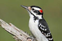Hairy Woodpecker (Picoides villosus) Stock Photo