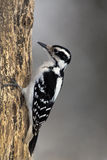 Hairy Woodpecker (Picoides villosus) Stock Photo