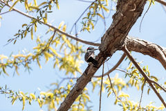Hairy woodpecker Picoides villosus. Black, white and red hairy woodpecker Picoides villosus in a tree in Southern California stock photos