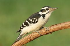 Hairy Woodpecker (Picoides villosus). On a branch with a green background stock images