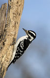 Hairy Woodpecker (Picoides villosus). Female Downy Woodpecker on a tree trunk stock image