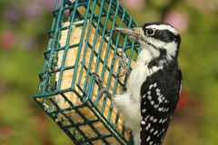 Hairy Woodpecker (Picoides villosus). Female Hairy Woodpecker (Picoides villosus) on a feeder with a green background stock photo