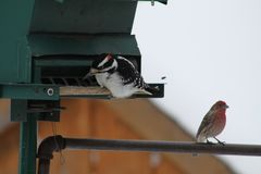 Hairy Woodpecker-Picoides villosus with House Finch Stock Images