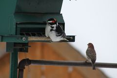 Hairy Woodpecker-Picoides villosus with House Finch. Male Hairy Woodpecker Picoides villosus on a bird feeder searching for and eating seeds, with house Finch on royalty free stock images