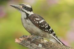 Hairy Woodpecker (Picoides villosus). Juvenile Hairy Woodpecker (Picoides villosus) on a branch colorful background Stock Photo