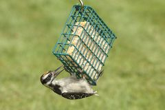 Hairy Woodpecker (Picoides villosus). Juvenile Hairy Woodpecker (Picoides villosus) on a feeder with a green background royalty free stock photo