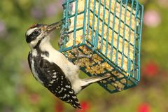 Hairy Woodpecker (Picoides villosus). Juvenile Hairy Woodpecker (Picoides villosus) on a feeder with a green background stock images
