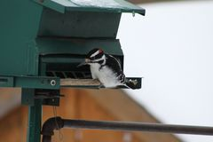 Hairy Woodpecker-Picoides villosus. Male Hairy Woodpecker Picoides villosus on a bird feeder searching for and eating seeds stock photo
