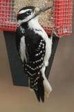 Hairy Woodpecker Picoides villosus Royalty Free Stock Photos