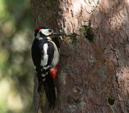 Hairy woodpecker, picoides villosus next to its. Hairy woodpecker, picoides villosus standing next to its hole nest royalty free stock photography