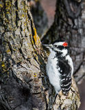 Hairy Woodpecker - Picoides villosus. Searching For Food stock image