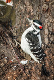 Hairy Woodpecker - Picoides villosus. Searching For Food stock photography
