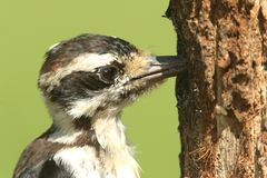 Hairy Woodpecker (Picoides villosus). On a tree with a green background Royalty Free Stock Photo