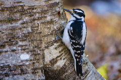 Hairy woodpecker (picoides villosus) on a tree Stock Photos