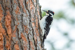 Hairy Woodpecker on a Pine Tree Royalty Free Stock Photography