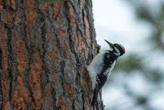 Hairy Woodpecker on a Pine Tree Stock Photo