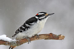 Hairy Woodpecker in Snow Royalty Free Stock Photos