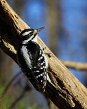 Hairy Woodpecker. Vertical portrait of a hairy woodpecker Stock Images