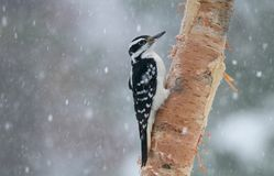 Hairy Woodpecker in Winter Storm Eating Bark Butter. A female hairy woodpecker Picoides villosus perching on a branch in a winter storm eating bark butter Royalty Free Stock Photo