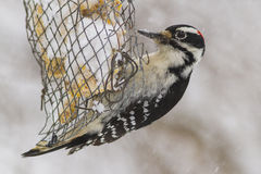 Hairy Woodpecker in winter storm Royalty Free Stock Photo