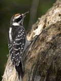 Hairy woodpecker wood Stock Photos
