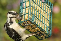 Hairy Woodpecker (Picoides villosus) Royalty Free Stock Photo