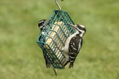 Hairy Woodpeckers (Picoides villosus). On a feeder with a green background royalty free stock photography