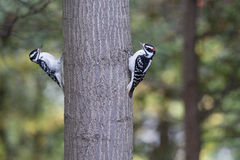Hairy Woodpeckers (Picoides villosus) Royalty Free Stock Photo