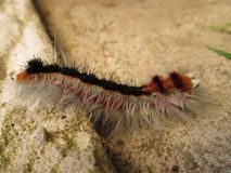 Hairy Worm. Stock Photography