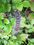Hairy worm on leaves Royalty Free Stock Photography