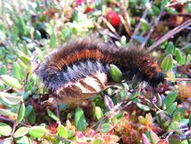 Hairy worm in swamp , Lithuania Royalty Free Stock Photos