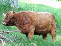 Hairy yak grazing in the Meadow Stock Image