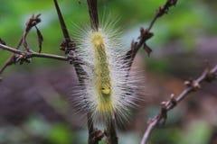 Hairy yellow caterpillar a branch. Hairy yellow caterpillar found on a branch in a tropical jungle Royalty Free Stock Photo
