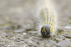 Hairy yellow caterpillar Royalty Free Stock Image