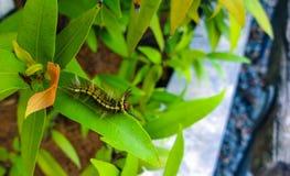 Hairy yellow caterpillar Stock Photo