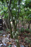 HAITI - AGRICULTURE. In Haiti cocoa is cultivated in the communes of Bogne and Port-Margot in the department of Nord Stock Image