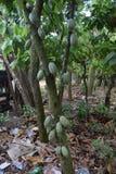 HAITI - LANDWIRTSCHAFT Stockbild