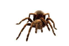 Haitian Brown Tarantula. (Phormictopes canceroides) isolated on white background Stock Images
