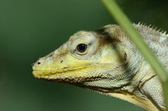 Haitian Giant Anole Stock Images