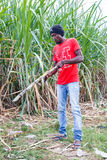 Haitian man on sugar cane plantation Royalty Free Stock Image