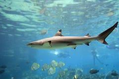 haj Fotografering för Bildbyråer