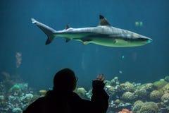 haj för rev för blacktipcarcharhinusmelanopterus Fotografering för Bildbyråer