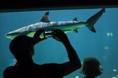 haj för rev för blacktipcarcharhinusmelanopterus Arkivfoton