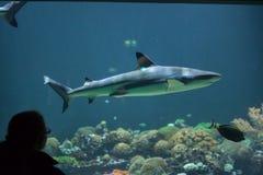 haj för rev för blacktipcarcharhinusmelanopterus Arkivbilder
