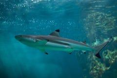 haj för rev för blacktipcarcharhinusmelanopterus arkivbild