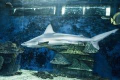 Haj i akvariet royaltyfri bild