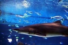 Haj i akvarium Arkivbilder