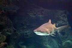 Haj i naturligt akvarium Arkivfoto
